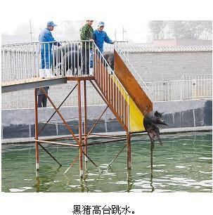 高台/圈内养猪司空见惯,可你看见过黑猪跳水、冬泳、跑步?
