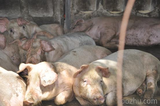 动物 猪 553_366