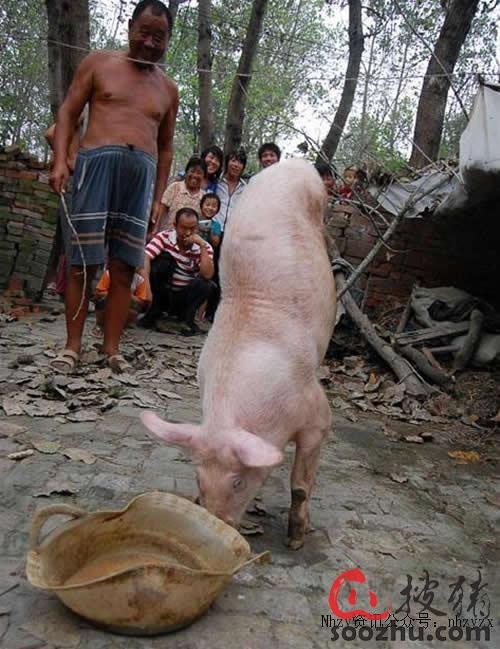 神猪只用两条腿走路 会倒立