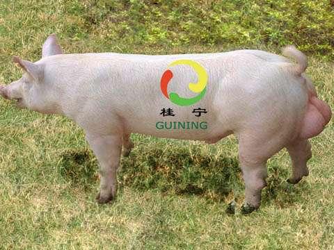 桂宁新英系视频集团|产品中心|广西桂宁大白种公猪大骚奶图片
